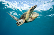 Melbalina the Turtle in California with Diving For A Cause